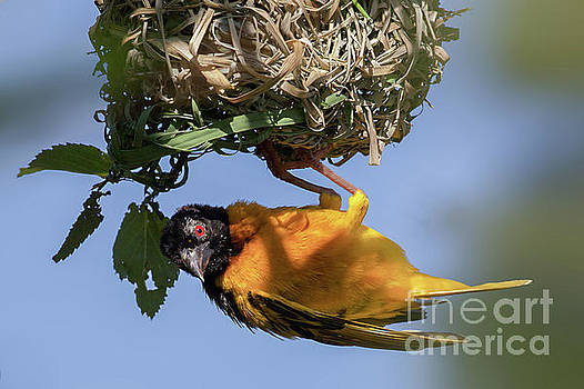 Simon Bratt Photography LRPS - Village weaver Ploceus cucullatus bird nest building