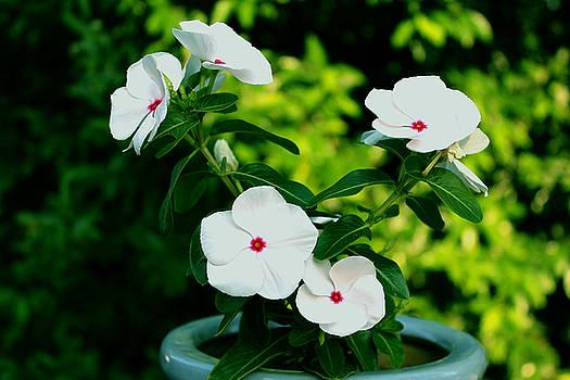 Vincas In Flower Pot by Carolyn Ricks