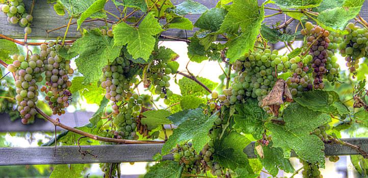 Vineyard 3 by Sam Davis Johnson
