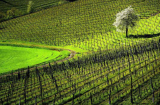 Vineyard by Livio Ferrari