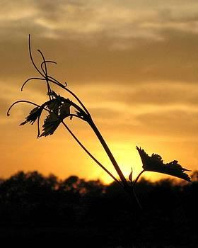 Carolyn Jacob - Vineyard Sunset