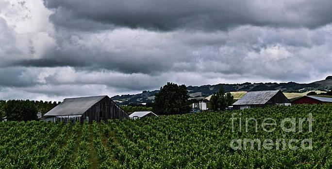 Vineyards by Nancy Chambers