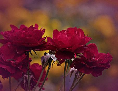 Vintage Aug Red Roses by Richard Cummings