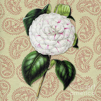 Vintage Botanical White and Pink Flower Camellia japonica by Amy Cicconi