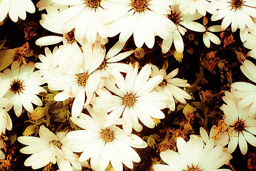 Vintage Daisies by Denice Breaux