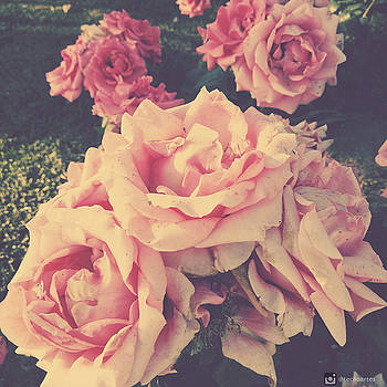 Vintage Pink Roses by Miguel Angel