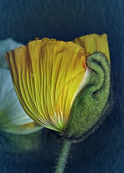 Vintage Poppy 2017 No. 1 by Richard Cummings