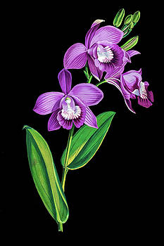 Vintage purple  Orchidx by Tom Prendergast