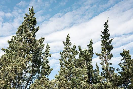 Lorrie Joaus - Vintage style pine trees