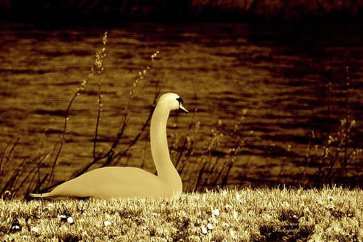 Darlene Bell - Vintage Swan