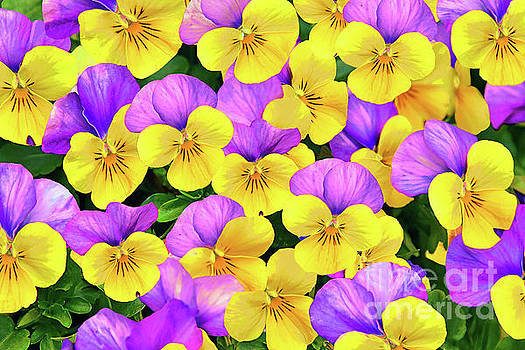 Regina Geoghan - Viola Flower Art in Yellow and Purple