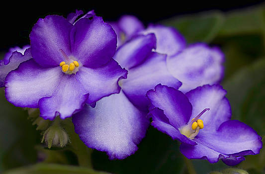 Violet Dreams by William Jobes