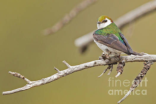 Violet Green Swallow by Natural Focal Point Photography