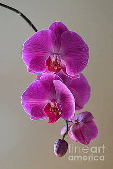 Violet Phalaenopsis Orchid by Catherine Sherman