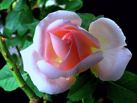 Virgin pink rose with thorns by Helmut Rottler