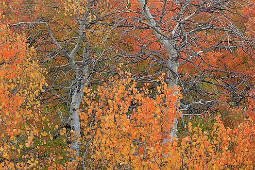 Virgina Canyon Fall Aspens by Dean Hueber