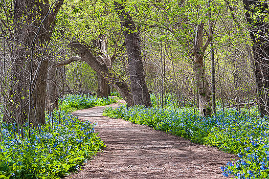 Virginia Bluebells on Potomac Heritage Trail Riverbend Park by Mark VanDyke