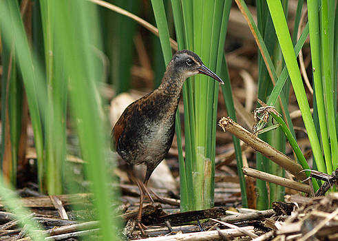 Virginia Rail by James Peterson