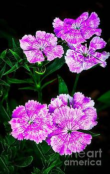 Vivant Pink and White Flowers by Ian Gledhill