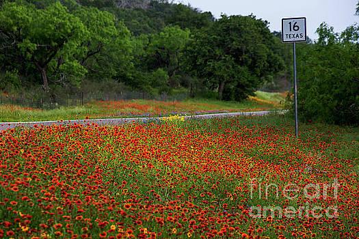 Herronstock Prints - Vivid red Indian Blanket Firewheels wildflowers bathed in mornin