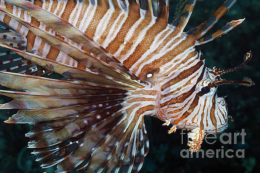 Volitans lionfish or Red Firefish Pterois Volitans by Carl Chapman