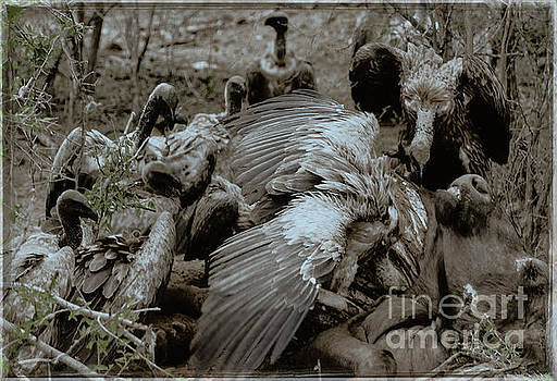 Vultures Clean-up by Robert Bolla