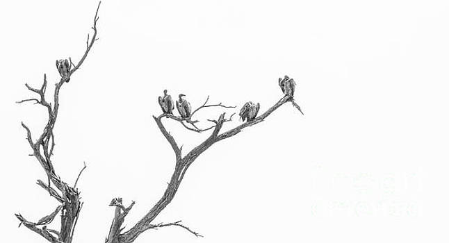 Vultures in a tree by Petrus Bester