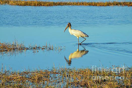 Bob Phillips - Wadding Wood Stork and Reflection