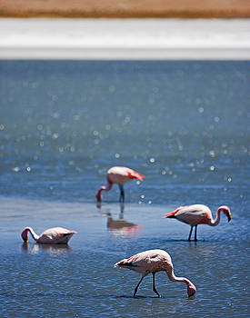 Wading Flamingos by Ron Dubin