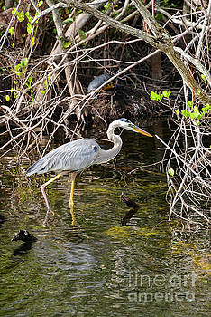 Bob Phillips - Wading Heron