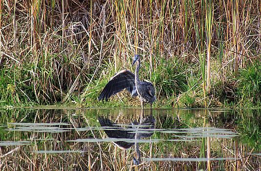 Cathy  Beharriell - Wading In Heron