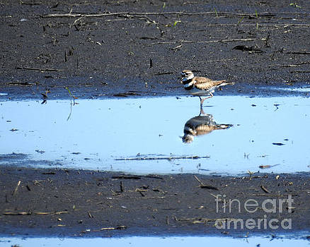 Wading Killdeer by Kathy M Krause