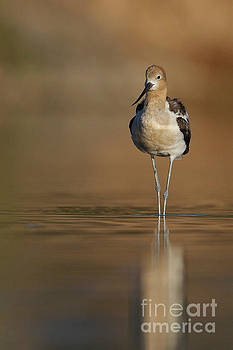 Waiting Avocet by Bryan Keil