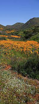 Cliff Wassmann - Walker Canyon Poppies