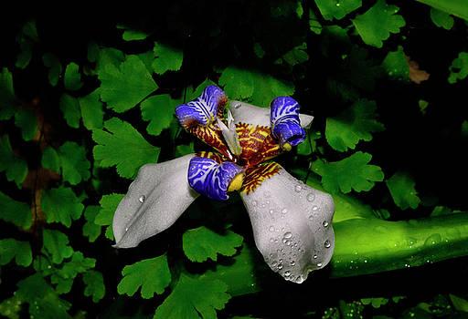Walking Iris - Neomarica candida 033 by George Bostian
