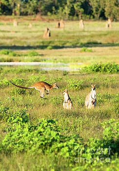 Wallaby jump by Andrew Michael