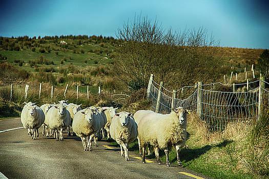 Wandering Sheep by Marie Leslie