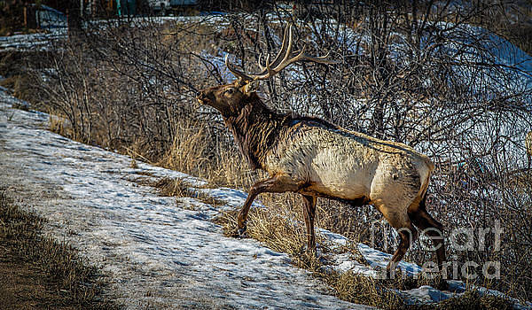 Jon Burch Photography - Wapiti