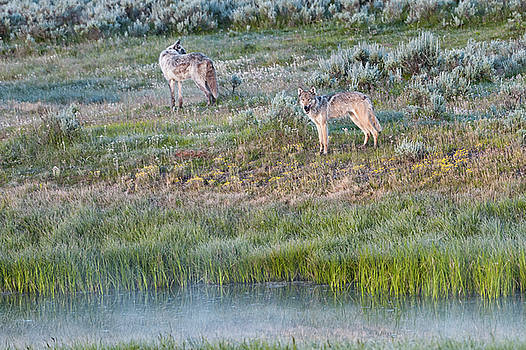 Tibor Vari - Wapiti Lake Wolf Pack in Yellowstone NP