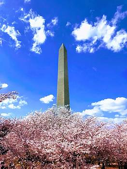 Washington Monument Cherry Blossoms by Chris Montcalmo