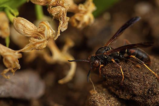Karol Livote - Wasp