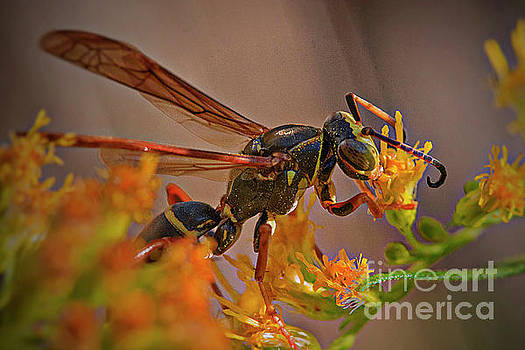 Wasp on goldenrod by Jim Wright