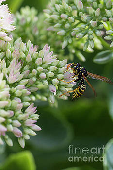 Wasp by Steve Triplett