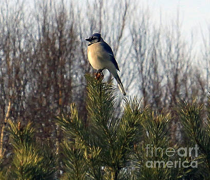 Watchful Blue Jay by Kathy DesJardins