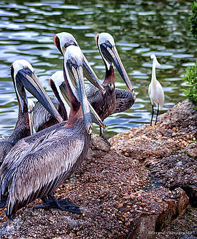 Watchful Pelican by Debra Forand