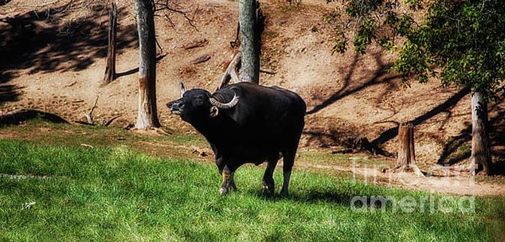 Water Buffalo  by Steven Digman