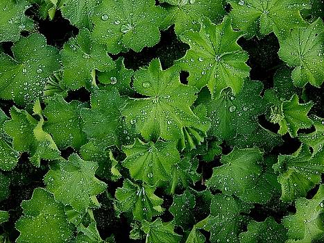 Colin Drysdale - Water Droplets On Green Leaves