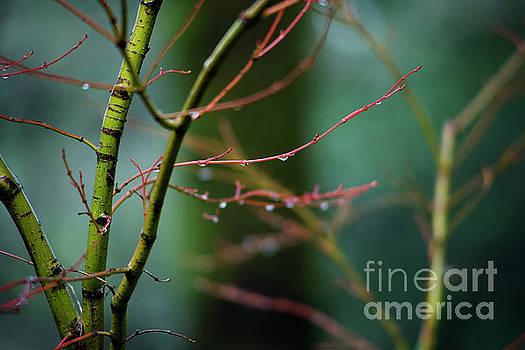 Charmian Vistaunet - Water Droplets on Twigs II
