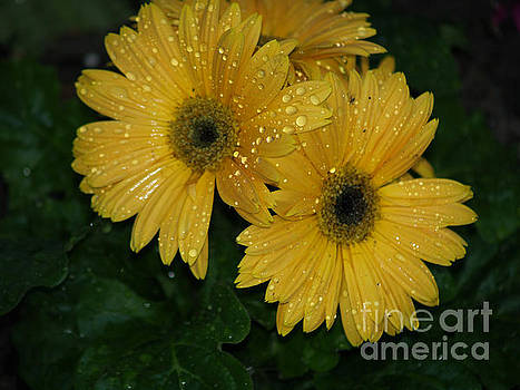 Water Droplets on Yellow Gerber Daisies by Robin Maria Pedrero
