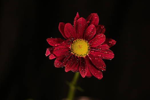 Water Drops On A Flower by Jeff Swan
